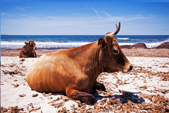 Cows on the beach Corsica, France