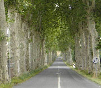 Plane trees close to the road in France